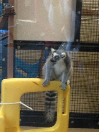 Just lemuring around at the Duke Lemur Center