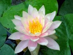 59653_lotus-flower02-1-1383326_2.jpg